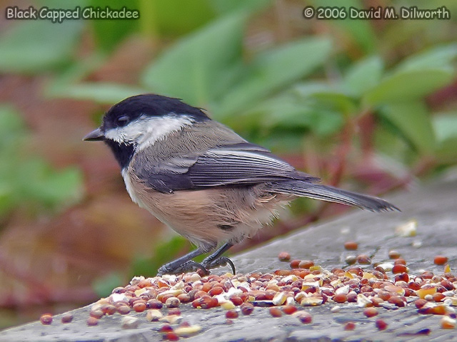 051 Black-capped Chickadee