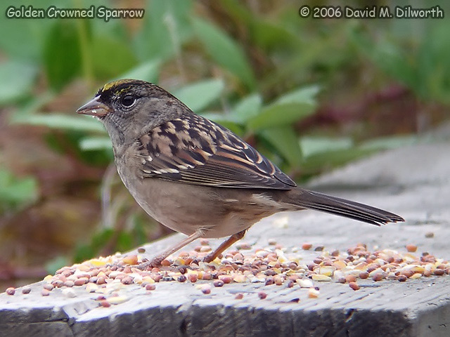 052 Golden-crowned Sparrow