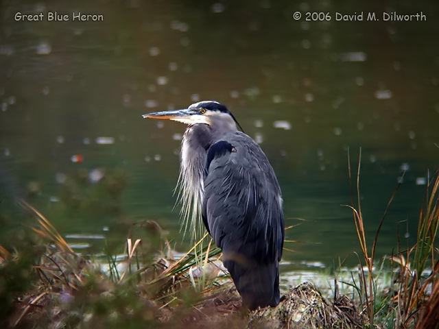 053m Great Blue Heron