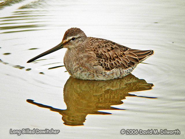 058 Long-billed Dowitcher