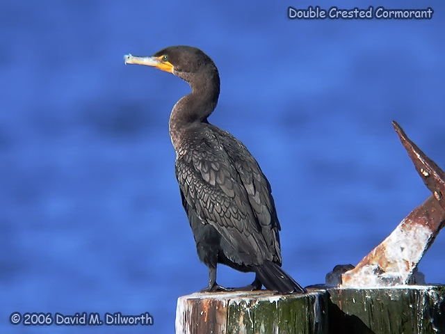 059 Double-crested Cormorant