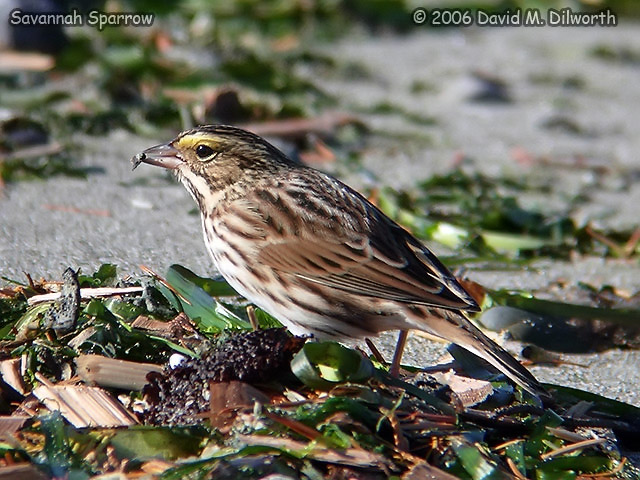 061 Savannah Sparrow