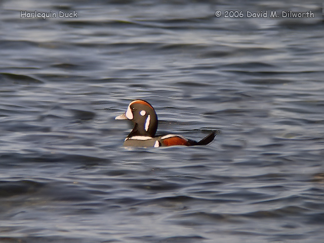 062m Harlequin Duck