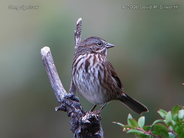067m Song Sparrow