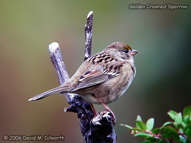068 Golden-crowned Sparrow
