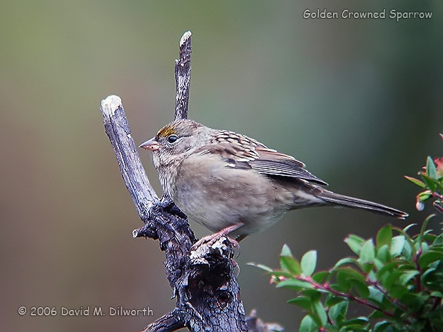 068m Golden-crowned Sparrow