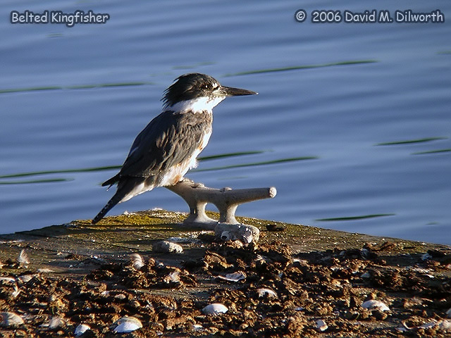 070 Belted Kingfisher