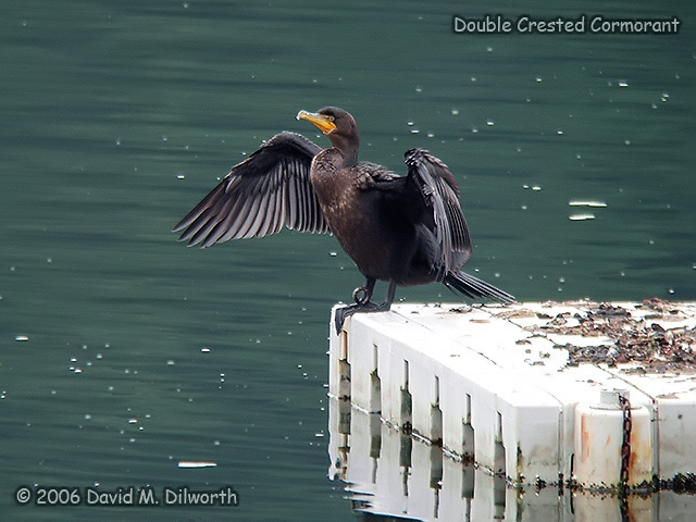 072 Double-crested Cormorant