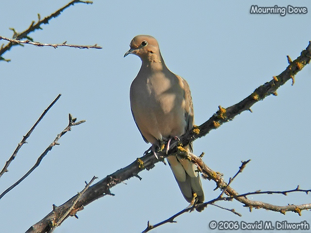074 Mourning Dove