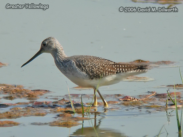 075m Greater Yellowlegs