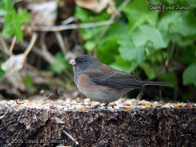 079 Dark-eyed Junco