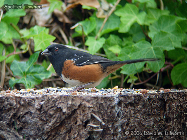 082 Spotted Towhee