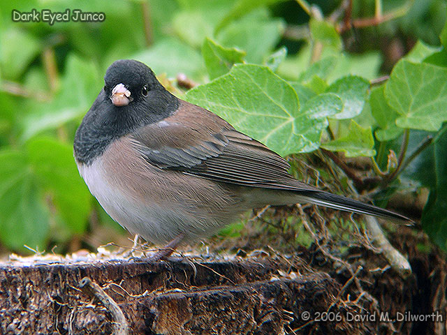 083 Dark-eyed Junco