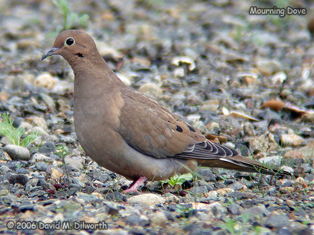 084 Mourning Dove