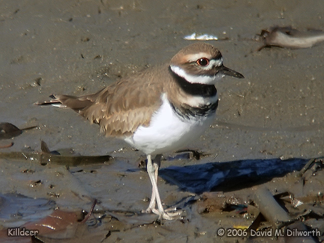 090 Killdeer