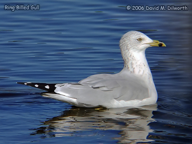 091 Ring-billed Gull