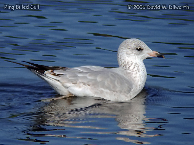 091m Ring-billed Gull