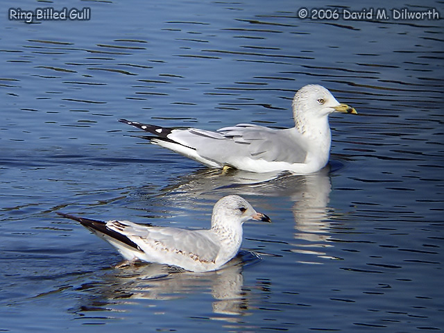 092 Ring-billed Gull