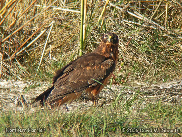 093 Northern Harrier
