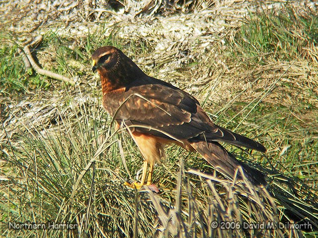 094m Northern Harrier