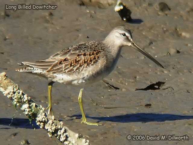 095 Long-billed Dowitcher
