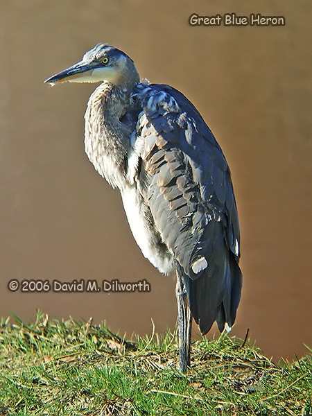 v097 Great Blue Heron