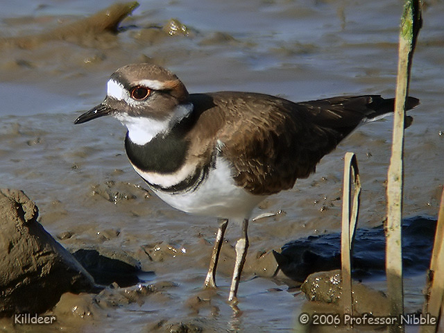 098 Killdeer