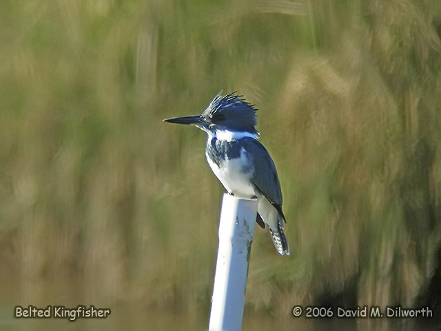 099 Belted Kingfisher