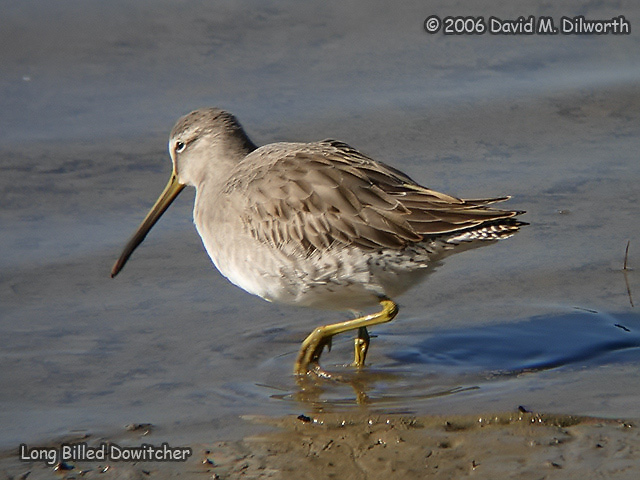 100 Long-billed Dowitcher