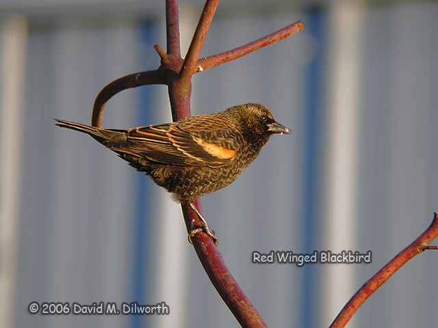 102 Red-winged Blackbird