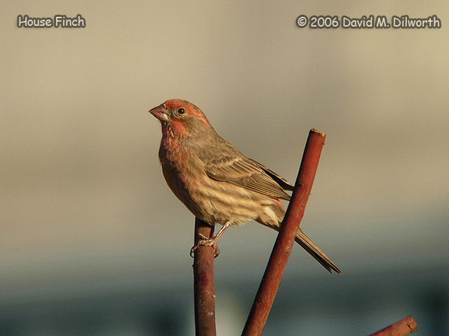 103 House Finch