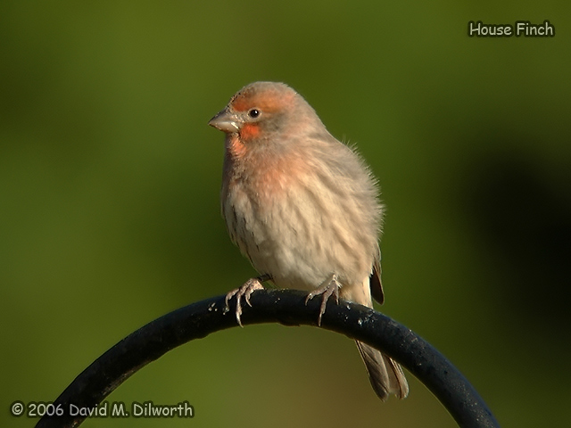 104 House Finch