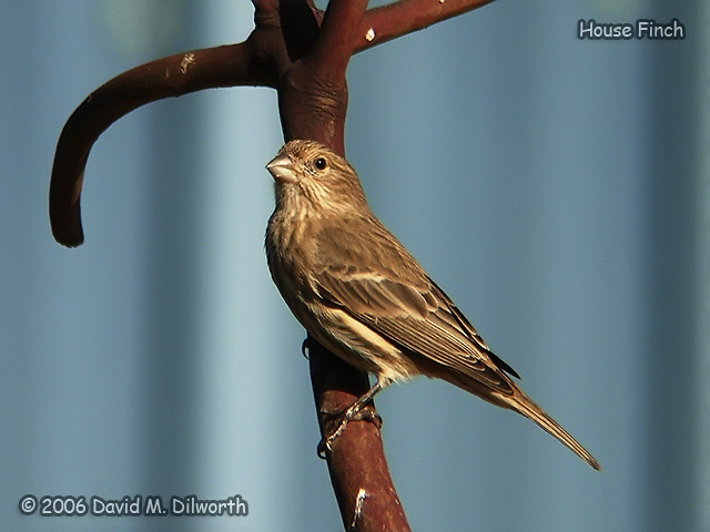 104m House Finch