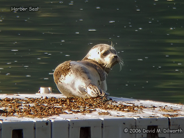 105 Harbour Seal