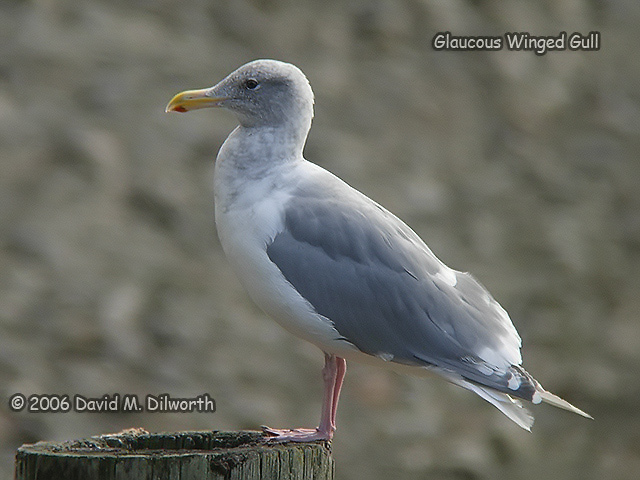 107 Glaucous-winged Gull