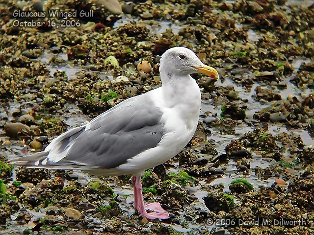 107m Glaucous-winged Gull