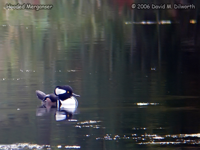 113m Hooded Merganser