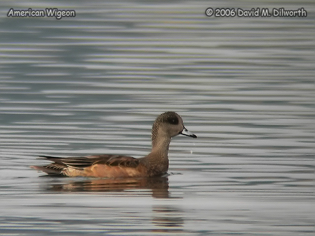 116m American Wigeon