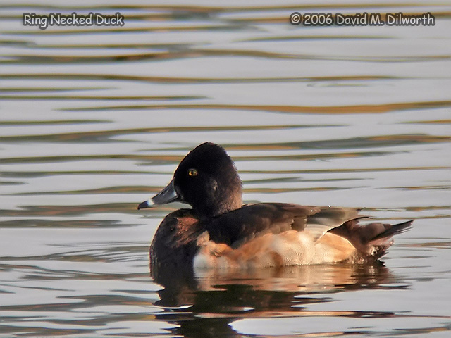 119m Ring-necked Duck