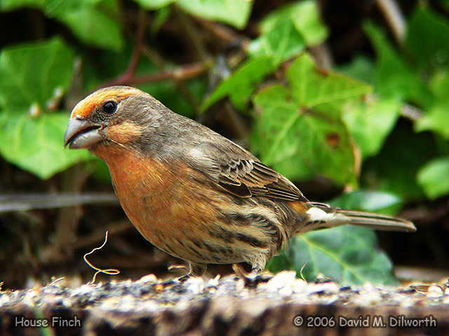 128 House Finch – Orange Variation