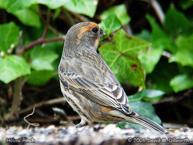 128m House Finch – Orange Variation