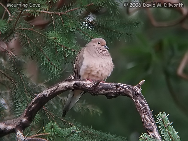 130 Mourning Dove
