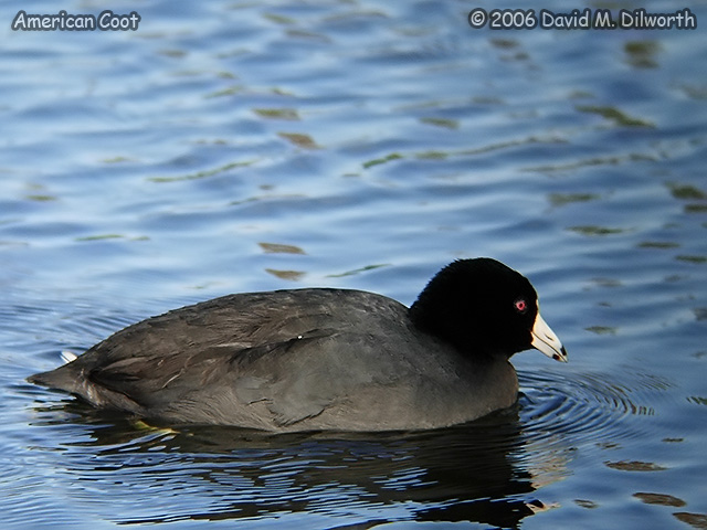 134m American Coot