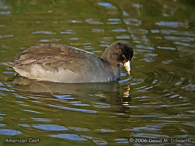 135m American Coot