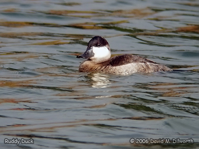 143m Ruddy Duck