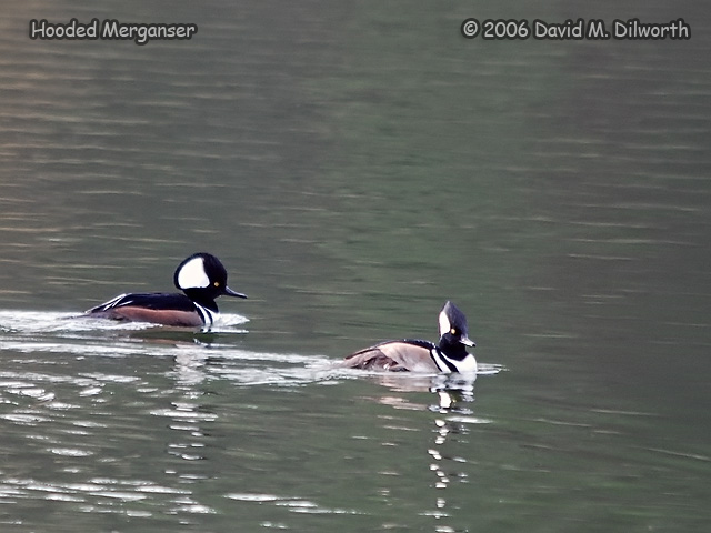 151m Hooded Merganser