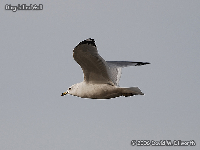 152 Ring-billed Gull