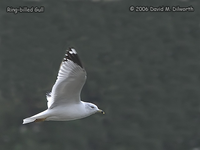 152m Ring-billed Gull
