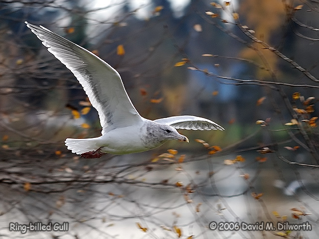 153 Ring-billed Gull