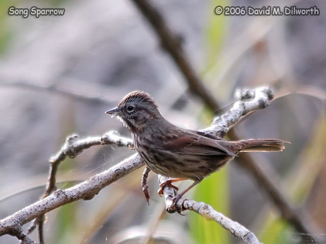 157m Song Sparrow